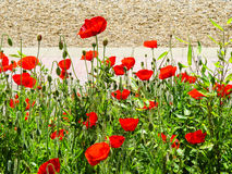 Eastbourne's poppies Stock Photography