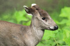 Eastchinese tufted deer. The detail of eastchinese tufted deer Stock Image