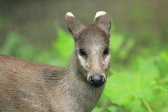 Eastchinese tufted hjortar Arkivfoton
