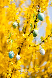 Easte egg and forsythia tree in spring outdoor Royalty Free Stock Images