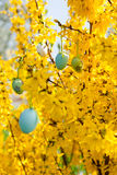 Easte egg and forsythia tree in spring outdoor Stock Photography
