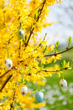 Easte egg and forsythia tree in spring outdoor Stock Images