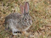 Easten Cottontail królik Zdjęcia Royalty Free