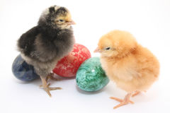 Easter colored eggs and baby chickens Royalty Free Stock Image