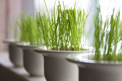 Easter. Green easter grass growing in tiny little bowls Royalty Free Stock Photo