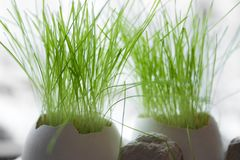Easter. Grass growing in two egg shells Stock Image