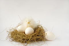 Easter. White easter eggs and easter chicken decoration in birds nest Royalty Free Stock Images