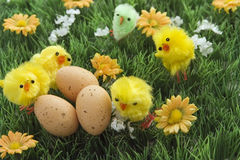 Easter. Display, eggs and chicks on grass Stock Images