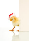 Is it Easter already - confused christmas chicken. With message board for text - isolated Stock Photo