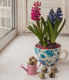 Easter arrangement of hyacinths in vintage cups Royalty Free Stock Photography
