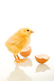 Easter baby chick just out of the egg stock image