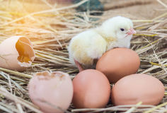 Easter baby chicken with broken eggshell in the straw nest Stock Images