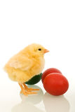 Easter baby chicken with colorful eggs Royalty Free Stock Photo