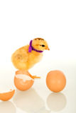 Easter baby chicken dressed for party Royalty Free Stock Image