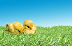 Easter baby chickens. Two baby chickens in the grass with sky background stock photo