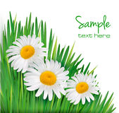 Easter background  Daisy flowers in green grass. Royalty Free Stock Image