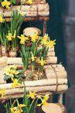 Easter background with fresh spring flowers. Easter background with fresh yellow spring flowers stock image