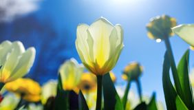 Easter background with white tulip in sunny meadow. Spring landscape with beautiful white tulips. Blooming flowers growing in. Field against a blue spring sky stock image