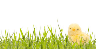 Easter banner with spring grass and baby chicken. On white background royalty free stock image