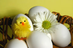 Easter basket. Easter eggs basket with a daisy an ornamental chick Stock Images
