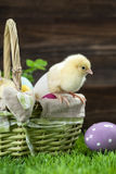 Easter basket ane chicken Royalty Free Stock Images