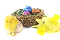 Easter Basket with chick and daffodils. On a light background Royalty Free Stock Image