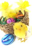 Easter Basket with chick and yellow daffodils. On a light background Royalty Free Stock Image