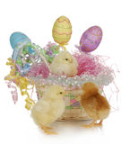 Easter basket and chicks. Adorable chicks in colorful easter basket with reflection on white background Stock Image