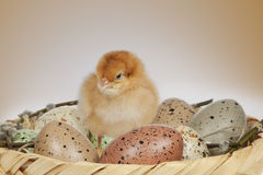 Easter basket with eggs and lonely chicken Stock Photos