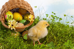 Easter basket with yellow chick. Easter chick in grass with a basket full of easter eggs Stock Photos