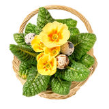 Easter basket with yellow primrose and quail eggs isolated on wh Royalty Free Stock Photo