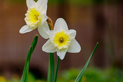 Easter bell flower in spring Stock Photography