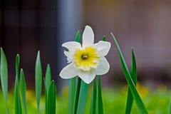 Easter bell flower in spring Stock Image