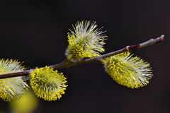 Easter bloom spring pussy willow Stock Photography