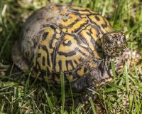 Easter box turtle looking at me. stock images