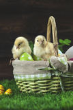 Easter bucket with eggs, young easter chickens around Royalty Free Stock Photo