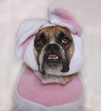 Easter Bulldog. The Easter Bully Bulldog in his costume stock photos