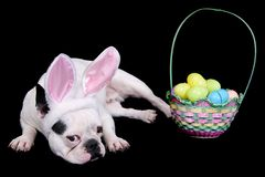 Easter bulldog Royalty Free Stock Photography