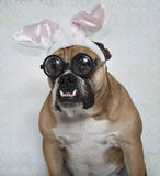 Easter Bulldog in Glasses. The Easter Bully Bulldog in his big, thick glasses royalty free stock images
