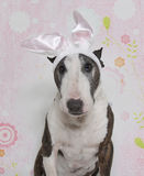 Easter Bully Bull Terrier. The Easter Bully Bull Terrier in bunny ears stock photography
