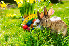 Easter bunnie on meadow with basket and eggs. Living Easter bunny with eggs in a basket on a meadow in spring Stock Photo