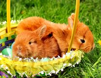 Easter bunnies in basket with colorful eggs against green grass background.  royalty free stock image