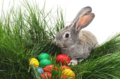 Easter bunnies with colored eggs. Easter bunnies with colored eggs on a white background Stock Photography