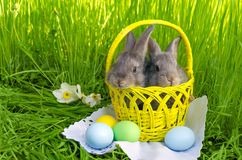 Easter bunnies in Easter basket with easter colored eggs. On grass background Stock Images