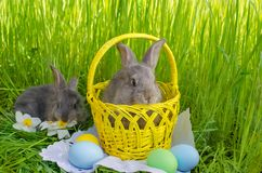 Easter bunnies in Easter basket with easter colored eggs. On grass background Stock Photography