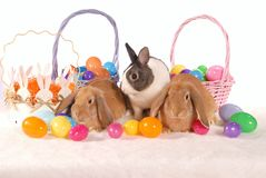 Easter bunnies and eggs. Two lop rabbits and one Dutch rabbit sit among colourful easter eggs Stock Photography