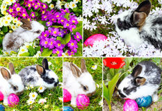 Easter Bunnies. Easter eggs and flower Stock Images