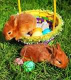 Easter bunnies in green grass with basket and colorful eggs.  royalty free stock image