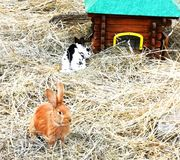 Easter bunnies in hay. Colourful easter bunnies in hay playing and eating. mammals royalty free stock photography