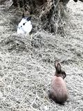 Easter bunnies in hay. Colourful easter bunnies in hay playing and eating. mammals royalty free stock photo